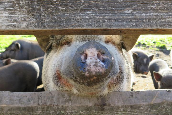 Besonders neugierig sind die Hängebauchschweine