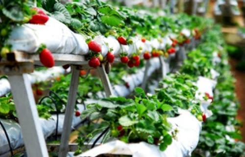 dau tay moc chau+%25285%2529 Dâu tây Mộc Châu sản vật mới của xứ sở những trái ngon