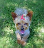 Meisie - Tiny Yorkie