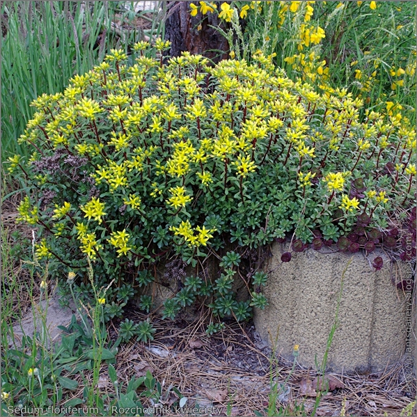 Sedum floriferum - Rozchodnik kwiecisty pokrój kwitnącej rosliny