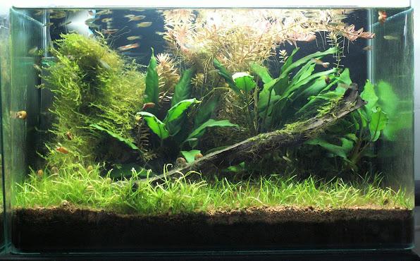 Aquariums plantés Aquarium+35+litres+n+5+20+03+2013
