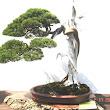 19 Juniperus chinensis.JPG