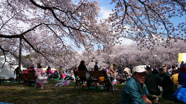 Koganei Park, 1-13-1 Sekinocho, Koganei, Tokyo 184-0001, Japan