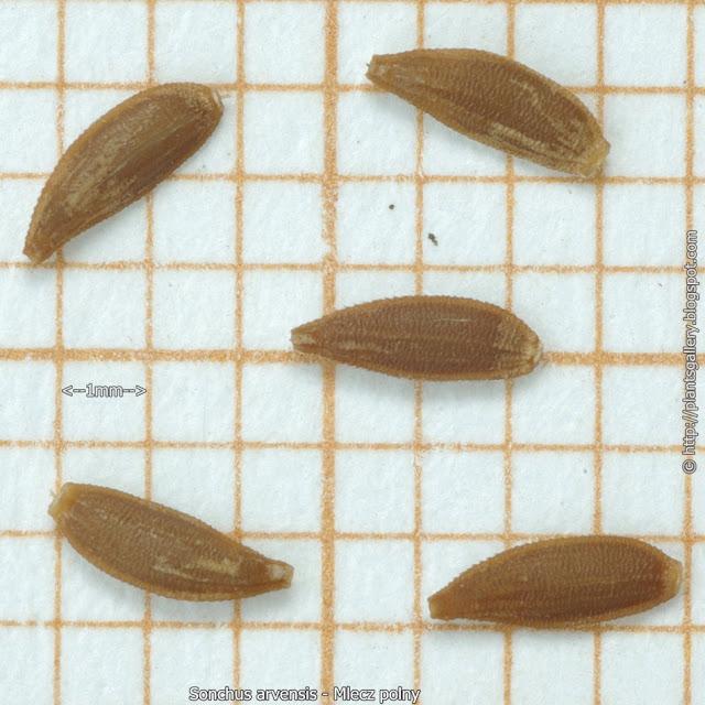 Sonchus arvensis seeds  - Mlecz polny   nasiona