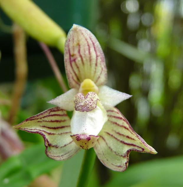 Bulbophyllum ambrosia P1430080