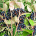 Aronia Berry Taste