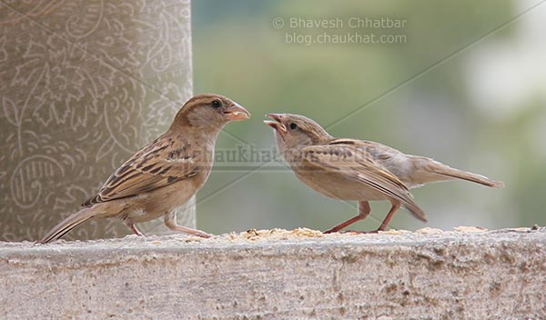Sparrow ready to feed young one