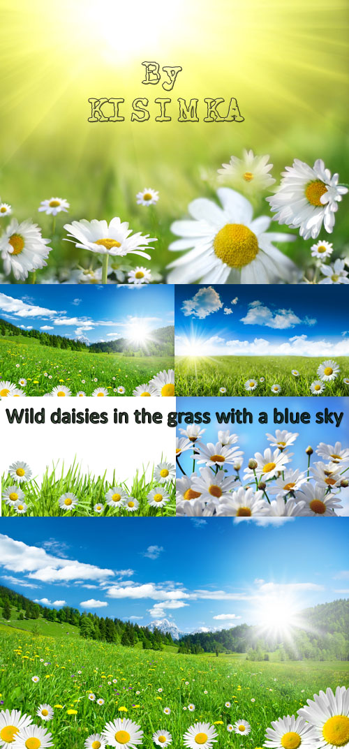 Stock Photo: Wild daisies in the grass with a blue sky