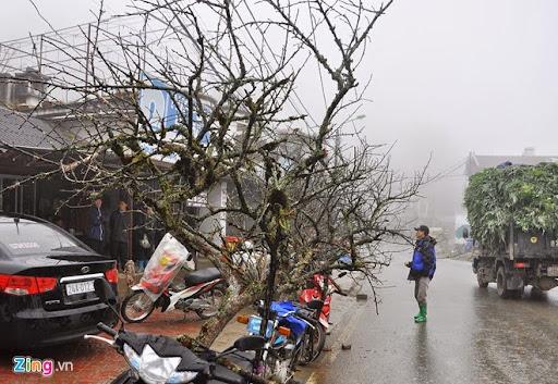 Anh Nguyễn Văn Hùng (35 tuổi), trú xã Sa Pả, từng 3 năm đi bán đào rừng cho hay, so với năm trước đào nở muộn hơn. Tuổi thọ của đào dựa vào số lượng rêu mốc, tầm gửi bám trên cành cũng như vân lõi gỗ.