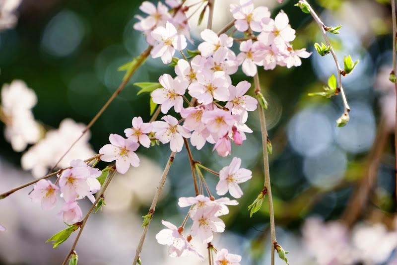 増上寺 桜 写真 5