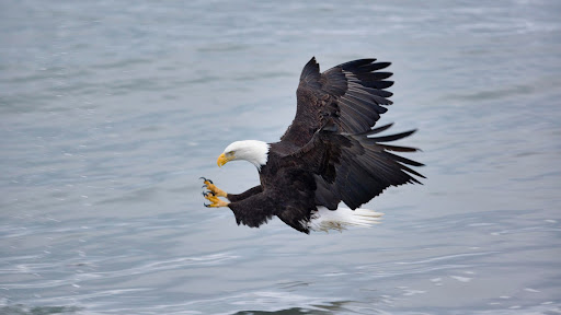 Mature Bald Eagle Fishing, Homer, Alaska.jpg