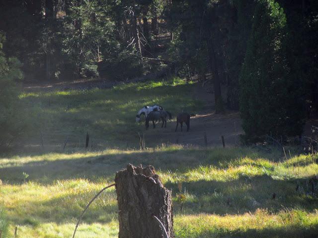 mules grazing