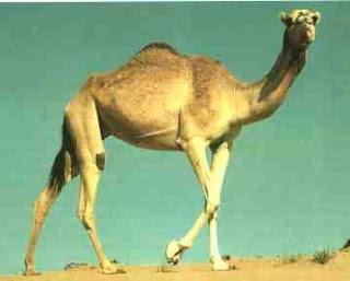 Camello delgado