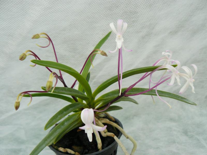 Neofinetia (Vanda) falcata Jucheonwang P1030426