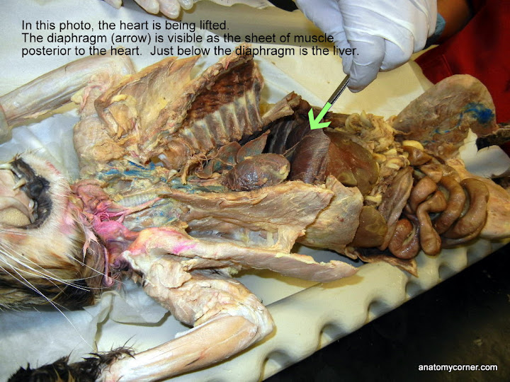 Virtual Cat Dissection - Organs of Thoracic Cavity | Anatomy Corner