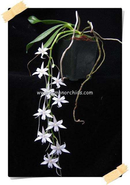 Растения из Тюмени. Краткий обзор Aerangis%252520articulata