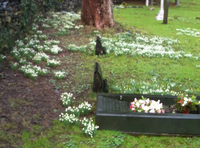snowdrops in grave yard