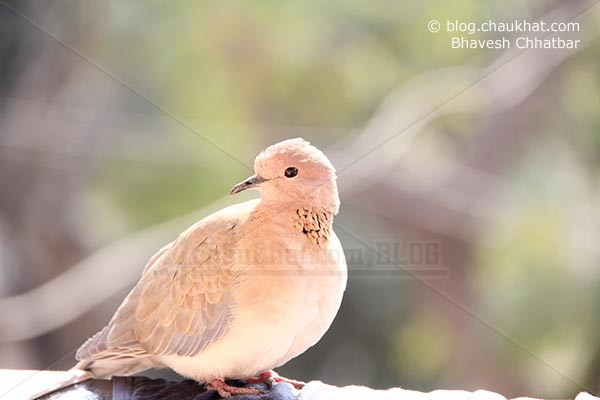 Laughing Dove [Stigmatopelia senegalensis] - Little Brown Dove
