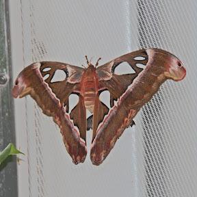 Dinner Plate Moth