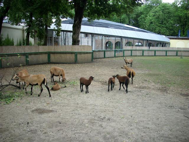 Owce bretońskie z młodymi