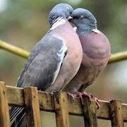 К чему снится много голубей?