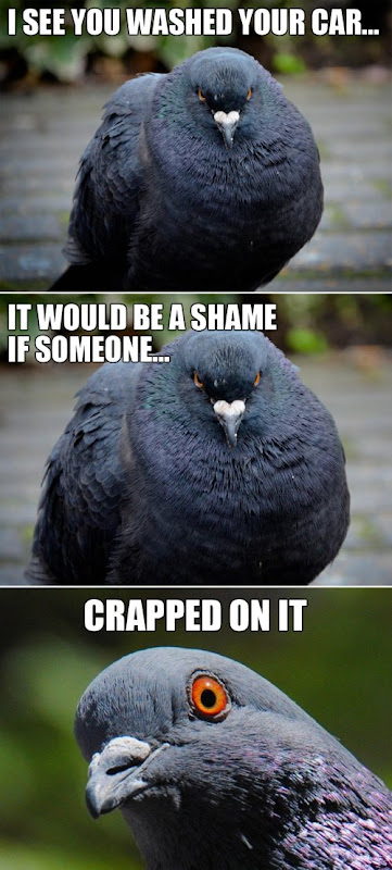 photo of a pigeon saying, I see you washed your car...