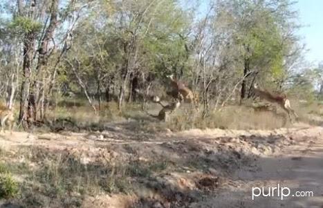 Leopard Ambush Impala Video, leopard print