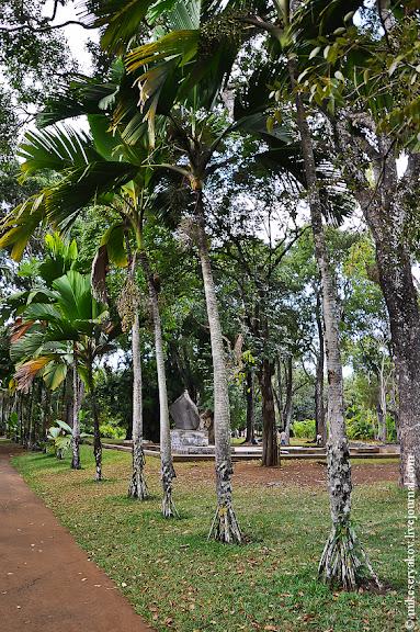 Шагающая или Сейшельская пальма