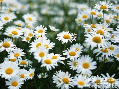 Hạt hoa cúc trắng