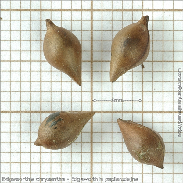 Edgeworthia chrysantha seeds - Edgeworthia papierodajna nasiona