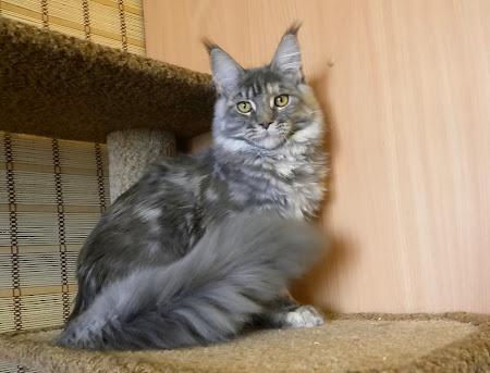 кошка мейн кун Ильвинг питомник Zen Garden г. Владивосток