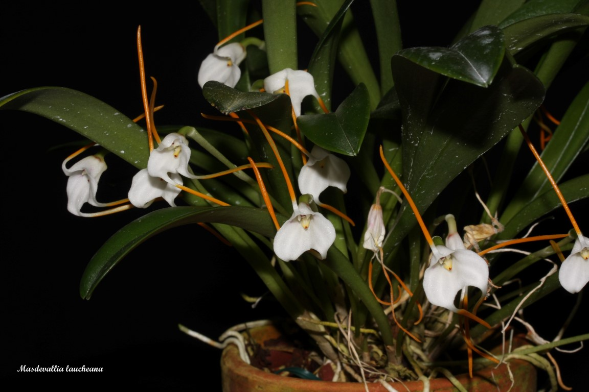 Acinopetala laucheana ( ex.Masdevallia laucheana ) IMG_6988b%252520%252528Medium%252529