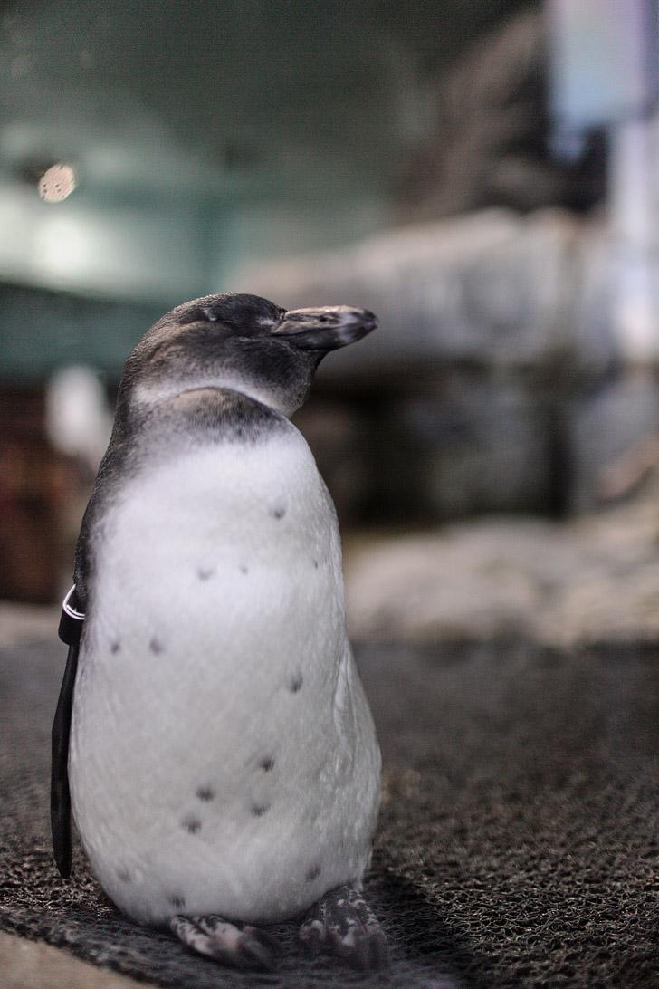 African Black Footed Penguin (Aquarium Monterey CA).