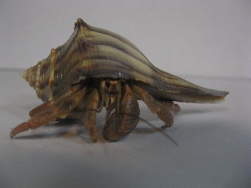 Photo Album: Ecuadorian hermit crab (Coenobita compressus) Hermit%2BCrab%2B1