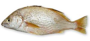 Peixe Castanha Croaker