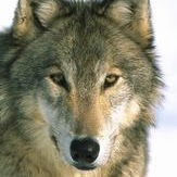 Friscowolf