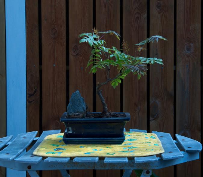 Pihlaja-angervo Bonsai ruukussa