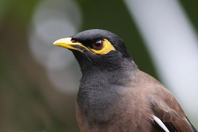 Common Myna - for your eyes only