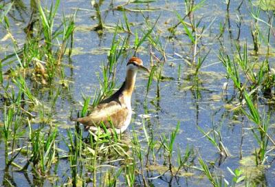 19-Nov-2011 Pheasant-tailed Jacana Pic: Deepa Mohan