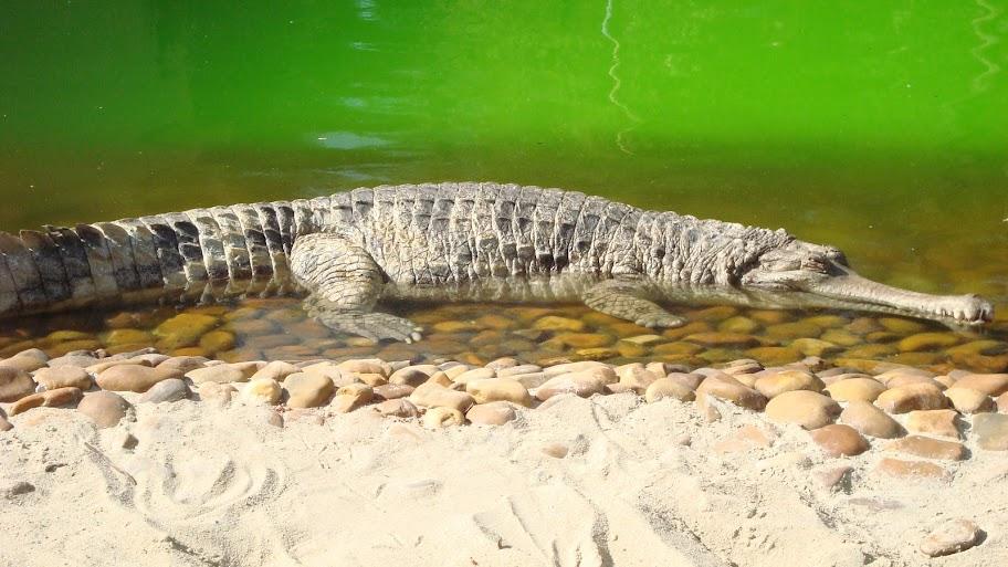Questões e Fatos sobre Crocodilianos gigantes: Transferência de debate da comunidade Conflitos Selvagens.  - Página 2 DSC03268