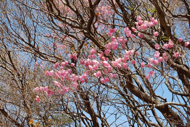 鎌ヶ岳頂上アカヤシオの花