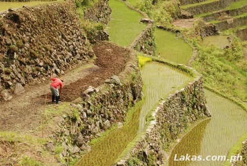 Rice Terraces Farmer