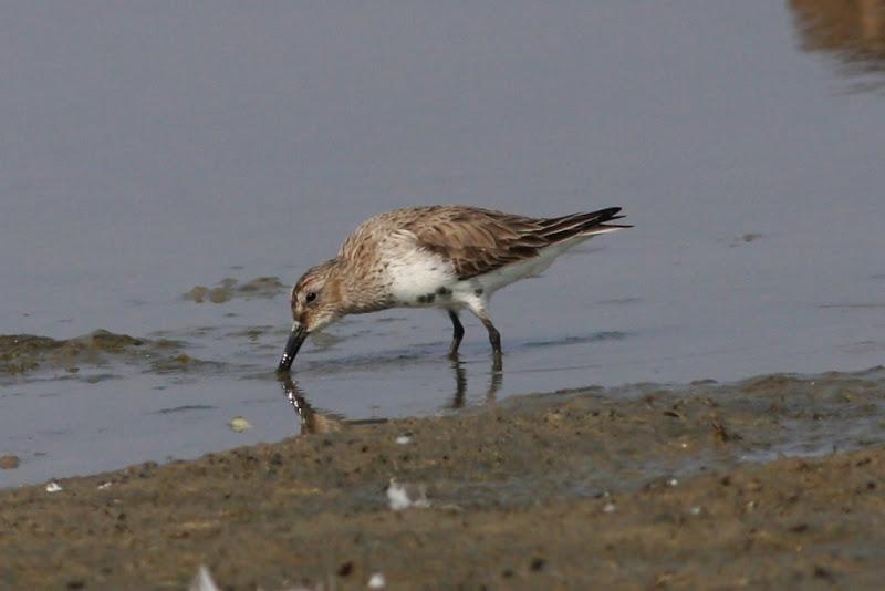 Fugaci de tarm Rodeanu Ialomita pasari migratie birdwatching wildlife