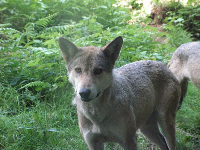 Les Loups de Chabrière PICT0433