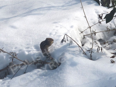 Picture of chipmunk with his pouches filled with corn and eating in the snow