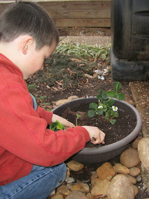 Child plants strawberries in a pot.