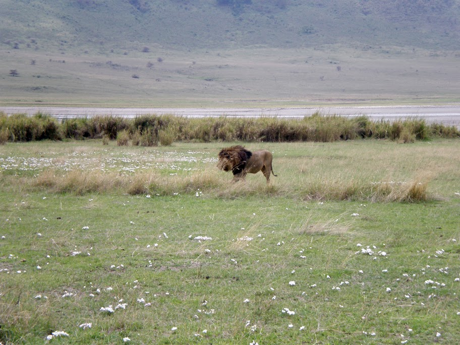 Ngorongoro Crater - Pride of lions