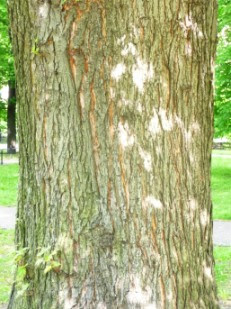Klon srebrzysty Acer saccharinum