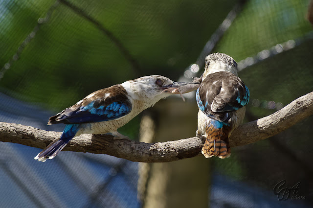 Blue-winged Kookaburra eating a mouse
