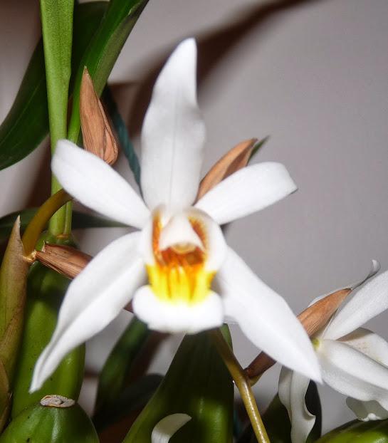 Coelogyne mooreana x cristata P1360890